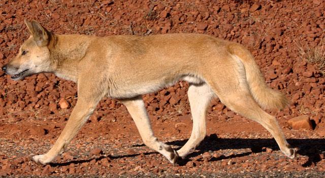 dingo-wild-dog